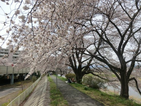 お花見の穴場散歩道、入間川・仏子中橋付近の桜
