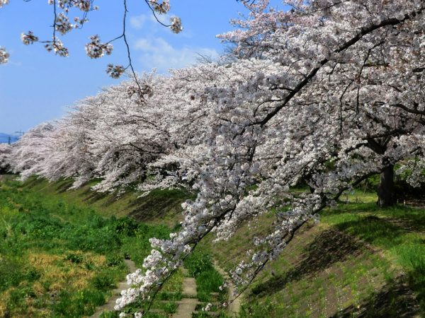 お花見の穴場スポット、入間川・野田河川公園の桜