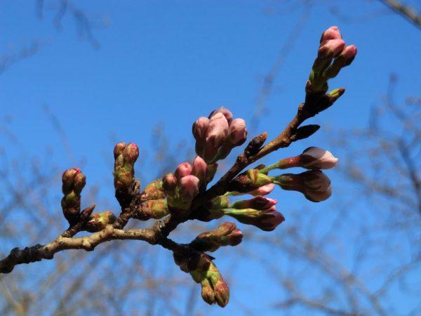 代々木公園でお花見、桜の開花状況