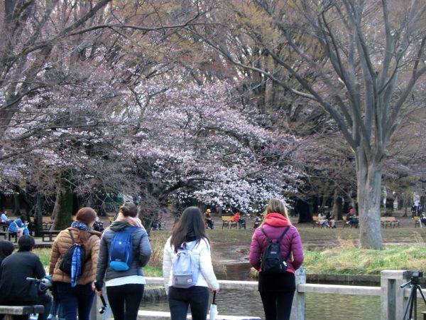 お花見の名所、渋谷区・代々木公園(噴水池付近)の桜