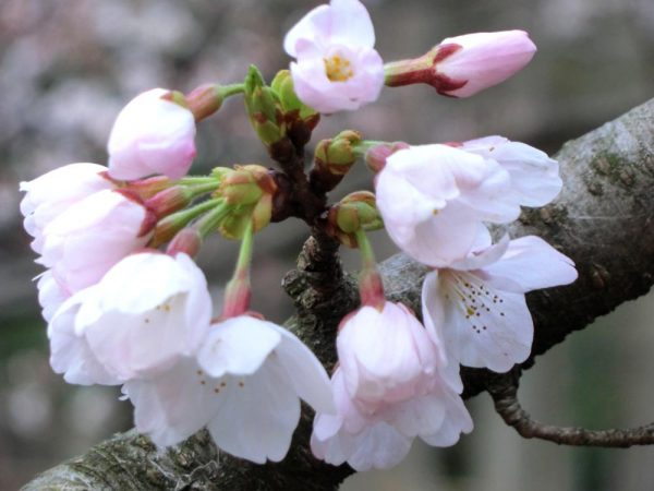 お花見の名所、渋谷区・代々木公園の桜