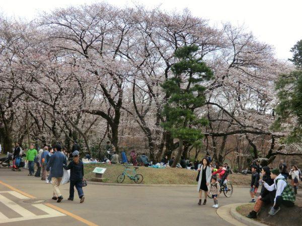 お花見の名所、渋谷区・代々木公園(西門上がった辺り)の桜