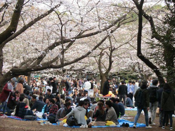 お花見の名所、渋谷区・代々木公園(桜の園)の桜