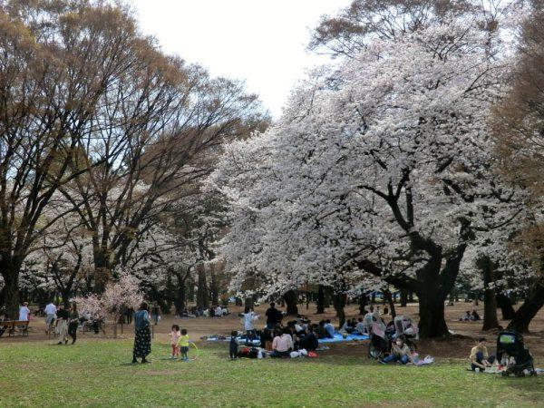 お花見の名所、渋谷区・代々木公園(中央広場)の桜