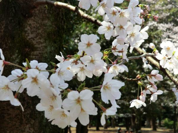 代々木公園、お花見、開花状況、2019